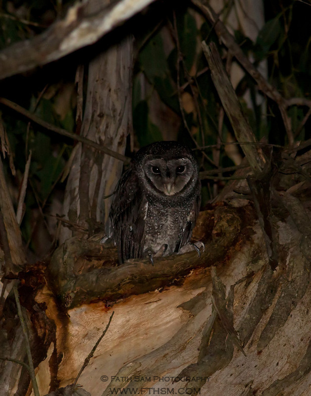1st Sooty Owl